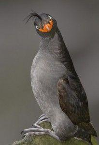 Crested-auklet.  From the Bering Sea.  Highly social seabird with a forward pointing ponytail, orange beak, cute smile and strong citrus odor.: Sayings, Inspirational Quotes, Funny Stuff, Funnies, Humor, Things, Smile, Positive Attitude
