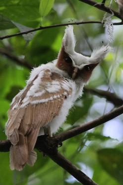 CRESTED OWL (Lophostrix cristata) - a nocturnal bird, roosting during the day in dense vegetation, especially in thickets along rivers. If disturbed at roost, the owl will become very slim and erect the ear-tufts high. Feeds mainly on insects, but likely