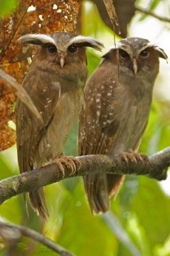 Crested Owls: Animals, Crested Owls, Nature, Murray Cooper, Birds, Hoot, Amazon