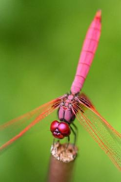 Crimson Dropwing Dragonfly (Trithemis aurora), though these are the males of the species: Photos, Pool, Pink Dragonfly, Legally Pink, Dragonflies