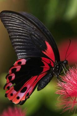 Crimson Swallowtail - gorgeous: Beautiful Butterflies, Animals, Red, Nature, Color, Flutterby, Moth