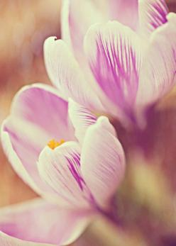 Crocus -  Fine Art Photography, crocus, springtime, spring, blooming, delicate, crocus photo,  home decor, purple, violet: Crocus Photo, Photography Springtime, Photography Crocus, Photography Take, Fine Art Photography, Fearheiley Photography Love