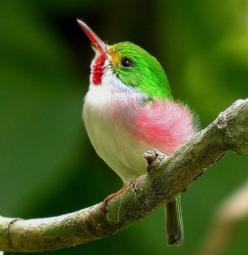 "Cuban Tody. Pretty little bird. It's a ""must-see"" bird for anyone heading for the West Indies. In woodlands throughout the island of Cuba, todies are terrific foragers.: Humming Birds, Animals, Nature, Color, Beautiful Birds, Photo, Hummingbirds"