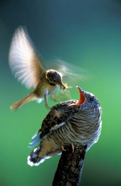 cuckoo chick being fed by surrogate parent by  Saturnina i Artur Homan: Surrogate Parent, Animals, Love Is, Beautiful Birds, Ave, Cuckoo Chick