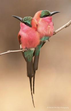 ~~Cuddling carmines | carmine bee-eaters by Patrick Bentley~~: Animals, Carmine Bee Eater, Poultry, Cuddling Carmines, Beautiful Birds, Beautifulbirds