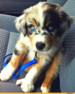 Cute: Australian Shepard, Animals, Puppies, Dogs, Golden Retrievers, Pet, Puppys, Blue Eyes, Australian Shepherd