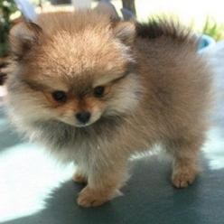 Cute baby Pomeranian looks like my pom when he was a baby <3: Pom Poms, Animals, Puppies, Dogs, Pet, Puppys, Pomeranians, Baby, Pomeranian Puppy