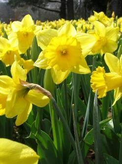daffodils: Favorite Flowers, Beautiful, Plants, Flower Power, Gardening, Daffodils, Yellow, Things, Spring