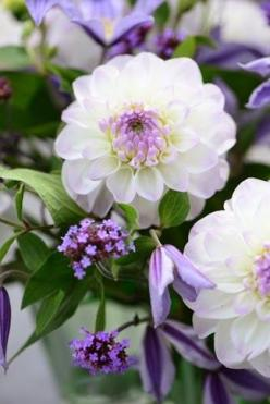 Dahlia 'Eveline' with small-flowered clematis and verbena. Brent & Becky's sells it; 2-2.5 ft: Purple Dahlia, Flowers Plants, Dahlias, Front Yard, Garden Flowers, Beautiful Flowers, Bloom