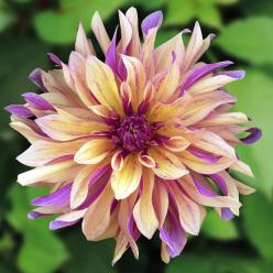 Dahlia 'French Can Can' (My goodness, this is gorgeous!!!): Beautiful Flower, Cancan Dahlia, Dahlia French, French Cancan, Dahlias Flower, Purple Flower, Fondant Flower