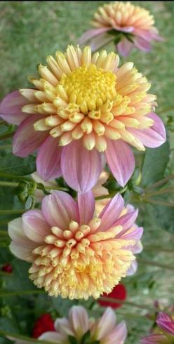 ~~Dahlia 'Honey' by David Wong~~: Flowers Gardens, Dahlia Flowers, Flowers Dahlias, Dazzling Dahlias, Flowers Plants, Flowers Flowers, Beautiful Flowers