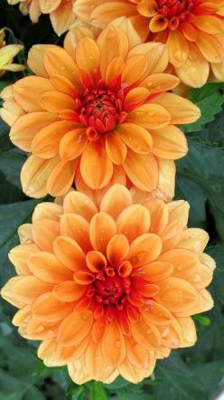 Dahlia's are plentiful in summer & fall. They are known to symbolize dignity, elegance, fidelity, good taste & gratitude: Dahlia Flowers, Orange Flower, Garden Img 9229, Beautiful Flowers, Dahlias Flower, Favorite Flower, Orange Dahlias