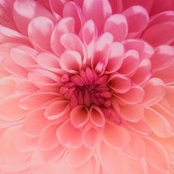 dahlia - any of several plants of or developed from the species Dahlia pinnata having tuberous roots and showy rayed variously colored flower heads; native to the mountains of Mexico and Central America and Colombia: Pink Flower, Color, Dahlias, Beautiful