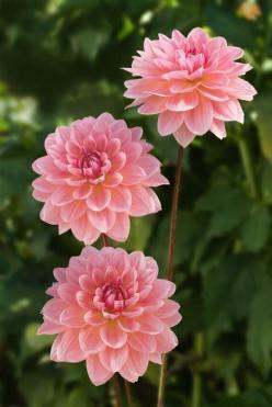 Dahlia: Beautiful Flower, Dahlias, Flowers Garden