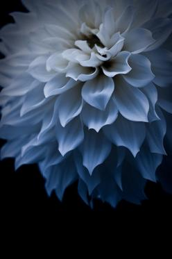 Dahlia #butchartgardens: Color, Dahlias, Beautiful Flowers, Delicate Blue, Photo