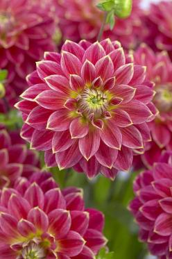 Dahlia -- by Visionspictures: Dahlias, Beautiful Flowers, Bloom, Flowers Garden