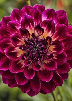 Dahlia by Wes and Dotty Weber: Dotty Weber, Crazy Colors, Dahlia Tattoo, Dahlias, Beautiful Flowers, Greeting Card, Fall Flower, Colors D7789