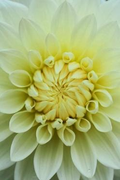 Dahlia Flower: Dahlia Flowers, Color, Dahlias, Beautiful Flowers, Bloom, Flowers Garden