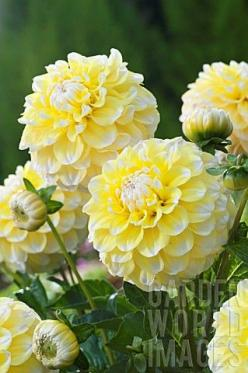DAHLIA_GRAMMAS_LEMON_PIE: Dahlia Gramma S, Dahlias, Gramma S Lemon, Beautiful Flowers, Flowers Garden, Lemon Pie, Yellow Flower