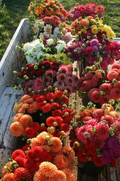 Dahlia harvest at Floret Flower Farm: Fall Flowers, Autumn Flowers, Dahlias, Beautiful Flowers, Gardens, Flower Power, Flower Farm, Fall Color