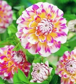 Dahlia Hawaii: Nature, Dahlias, Gardening, Pretty Flowers, Beautiful Flowers, Dahlia Hawaii, Hawaiin Flower, Hawaiian Dahlia
