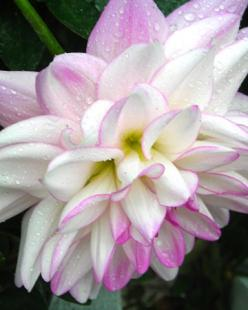 Dahlia.. Possible tattoo?: Flowers Gardens, Dahlia Flowers, Flowers 3, Flowers Dahlias, Flower Gardens, Garden Flowers, Beautiful Flowers, Bouquets Flowers