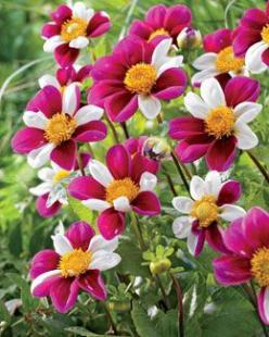 Dahlia, Smartie - Dahlia. Smartie is a lower growing dahlia that produces lots of single purple and white flowers. Each flower has a different color pattern. Great choice for a container or as an edger. Blooms mid-summer to fall.: Color, Dahlias, Smartie
