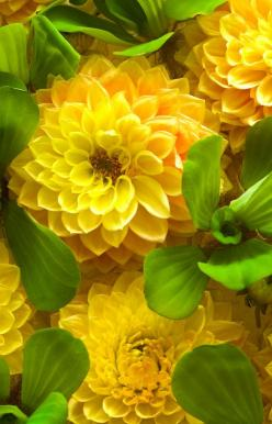 Dahlia. These are stunning!: Yellow Flowers, Dahlia Flowers, Flowers Dahlias, Mellow Yellow, Beautiful Flowers, Garden, Yellow Dahlias, Green Yellow