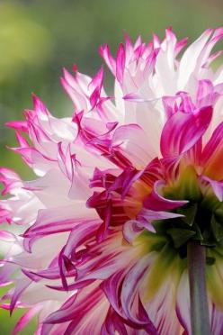 Dahlia: White Flower, Color, Dahlias, Flower Power, Beautiful Flowers, Bloom, Pink, Pretty Flower, Garden