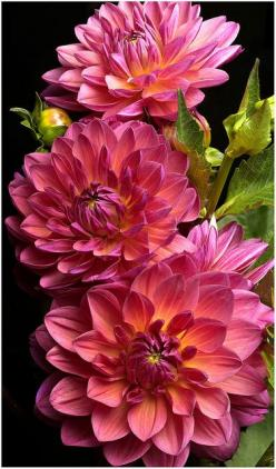 Dahlias.   Go to www.YourTravelVideos.com or just click on photo for home videos and much more on sites like this.: Dahlia Flowers, Color, Beautiful Flowers, Bloom, Pink Dahlias, Flowers, Garden, Favorite Flower