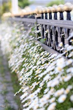 daisies.: Daisies, Gardening, Gardens, Daisy, Iron Fence, Flowers, Cafe Chickpeas, Photo, Spring