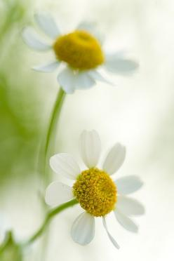 daisies...definitely one of my favorites but can't seem to get them to grow at my house.: Daisy Flowers, Bloom, Daisys, Flowers Daisies, Flowers, Spring, Daisies Beautiful Flowers