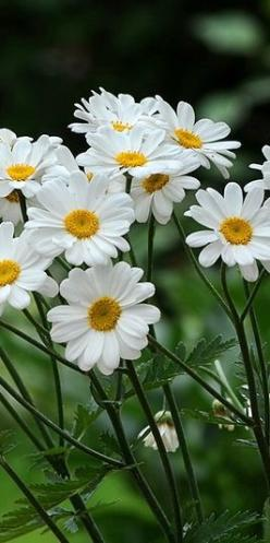 daisies.... simply beautiful - lots of childhood memories making daisy chain necklaces and head wear !: White Flowers, Beautiful Daisies, Flores Flowers, White Garden, Beautiful Flowers, Daisys, Margarita Flower