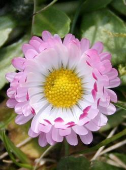 Daisy (Bellis perennis): Daisies, Beautiful Flowers, Bloom, Pretty Flower, Garden, Flower