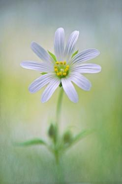 Daisy  ~Healing & Forgiveness is a Blessing<3: White Flowers, Favorite Flowers, Nature, Daisies, Beautiful Flowers, Gardens, Daisy, Things, Photo
