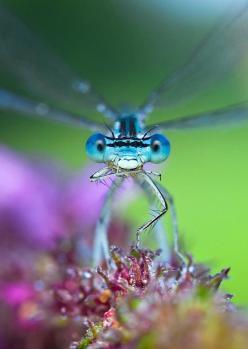 Damselflies are the most gorgeous blue~: Macro, Animals, Nature, Insects, Morning, Dragonfly, Photo, Dragonflies