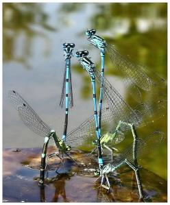 Damselflies talking: Nature, Butterflies, Wings, Gardens Animals Bugs, Damsel Flies, Beautiful Dragonflies, Dragonfly Damselfly, Photo