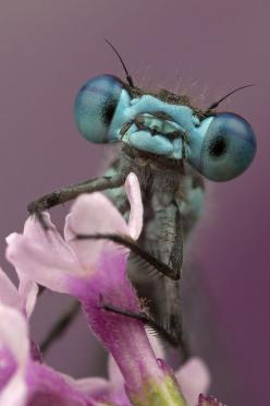 Damselfly by Murray Clarke: Damselflies are similar to dragonflies, but...http://en.wikipedia.org/wiki/Damselfly #Insects #Damselfly: Nature Animal, Damselfly, Creatures, Dragonfly, Amazing Animals, Photo, Dragonflies