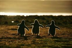 dancing penquins!: Photos, Babies, Friends, Pet, Baby Animals, Things, Baby Penguins, Gentoo Penguins