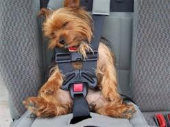 Dang...I never thought of that.  I could put Sophie in a car seat when I take her to the vet.  lol  It looks just like her.: Animals, Dogs, Yorkie, Pets, Funny, Puppy, Baby