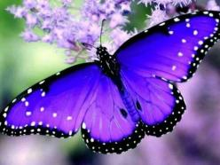 Day 11: I kinda forgot how pretty purple is... but I chose this because I love purple butterflies. I think when butterflies are purple they are the prettiest they can be.: Beautiful Butterflies, Butterfly, Purple Butterfly, Purple Butterflie, Flutterby, A