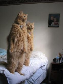 dear god....I knew they walked around like this when I'm not home.: Cats, Animals, Kitty Cat, Funny Cat, Crazy Cat, Funny Animal, Cat Lady