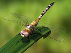 Desktop Backgrounds · Computers · Windows 7   Dragonfly: Dragons, Mis Libelulas, Google Search, Dragon-Fly, Animal, Dragonflies