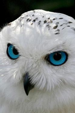 Despite the fact the eyes have obviously been Photoshopped, I think this is a great photo.: Animals, Blueeyes, White Owls, Beautiful, Blue Eyes, Snow Owl, Snowy Owl, Birds, Snowyowl