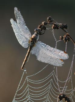 ♥ dew laden dragon fly and spider web look like they've been festooned with diamonds: Dragon Flies, Spider Webs, Spiders, Dew Drop, Dragonfly, Dragonflies