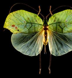 Disfraces audaces de la naturaleza... Una buena idea para carnaval: Beautiful Butterflies, Insects Moths Butterflies, Nature, Animals Moths, Wings, Insects Moths Pitterlalas, Beauty