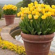 Do this in the fall. Spring bulbs in Pots: store the potted bulbs in an unheated garage or storage room. Youll need to water every few weeks since the pots wont have access to rainfall. In addition to small pots, pack bulbs shoulder-to-shoulder in big con