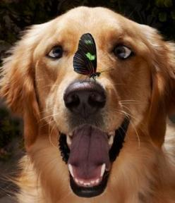 dog & butterfly: Butterfly, Animals, Dogs, Butterflies, Golden Retrievers, Pet, Funny, Photo, Friend