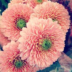 Double petal gerbera daisies ... wish they had these at my local greenhouses ...: Flowers Gardens, Gerbera Daisies, Color, Gerbera Daisy, Beautiful Flowers, Bloom, Double Petal Gerbera
