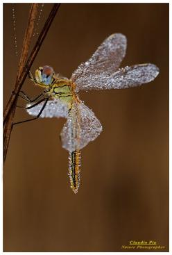 Dragon fly covered in dew ~ Looks like a fairy!: Dragon Flies, Fairies, Bugs, Dragonfly S, Beauty, Insects, Dragonflies